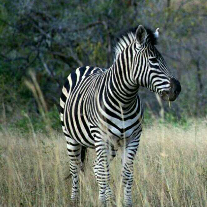 点线面构成的动物创意图斑马
