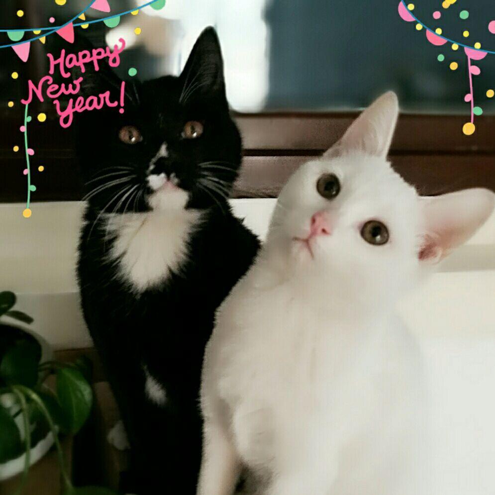 萌宠黑白猫