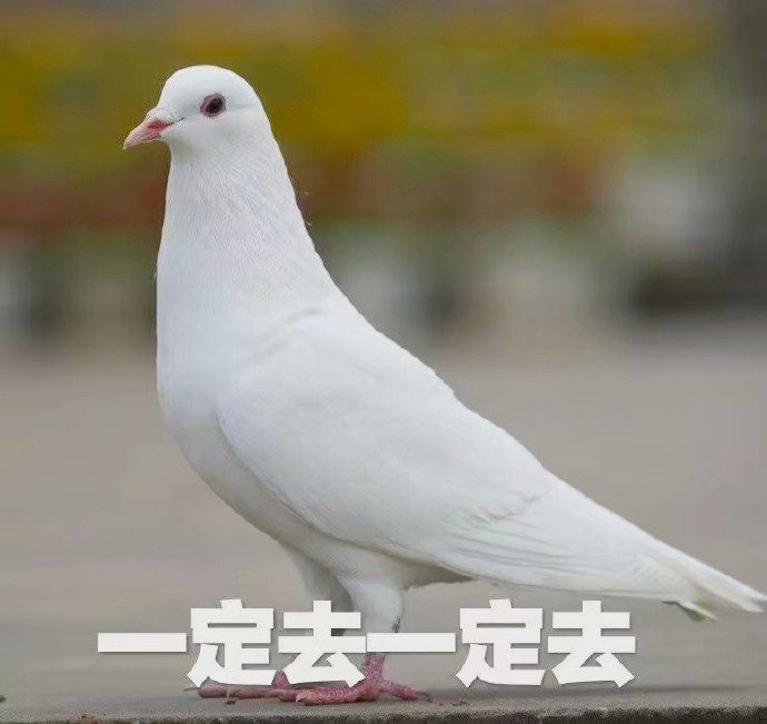 鸽子表情包