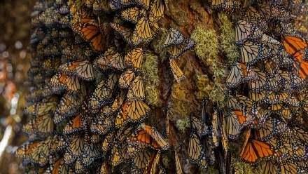 在米却肯州越冬的帝王蝶