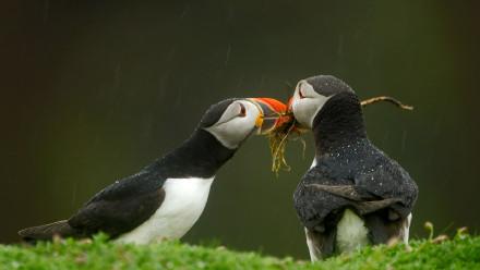 雄性大西洋海鹦将筑巢材料递给它的伴侣