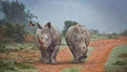 阿姆哈拉禁猎区的两只犀牛和一只啄牛鸟