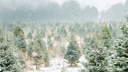 安大略省的圣诞树农场