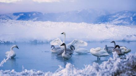 凯利温泉中的黑嘴天鹅