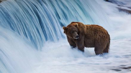 布鲁克斯河中的棕熊