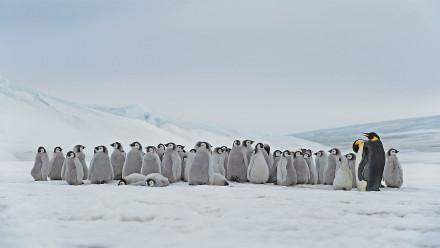 栖息在斯诺希尔岛的成年帝企鹅和幼崽