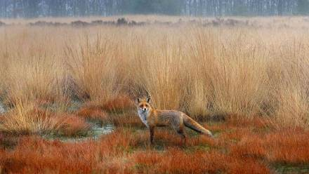 赤狐,荷兰赤狐