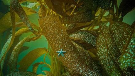 在加州海岸海藻上的赭色海星