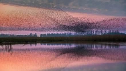 Lauwersmeer国家公园上空的椋鸟群