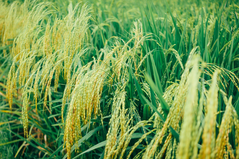 close-up-photo-of-rice-plains-2589457s