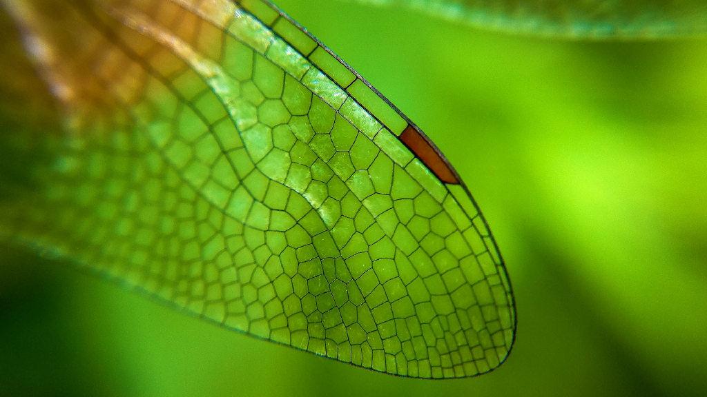 蜻蜓翅膀特写