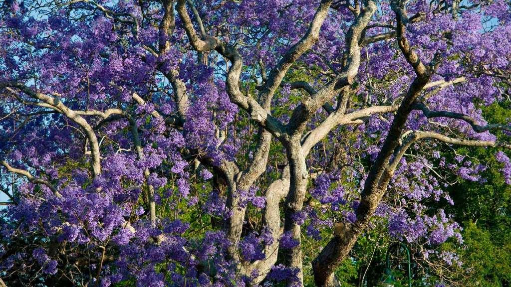 新农场公园内盛开的蓝花楹树