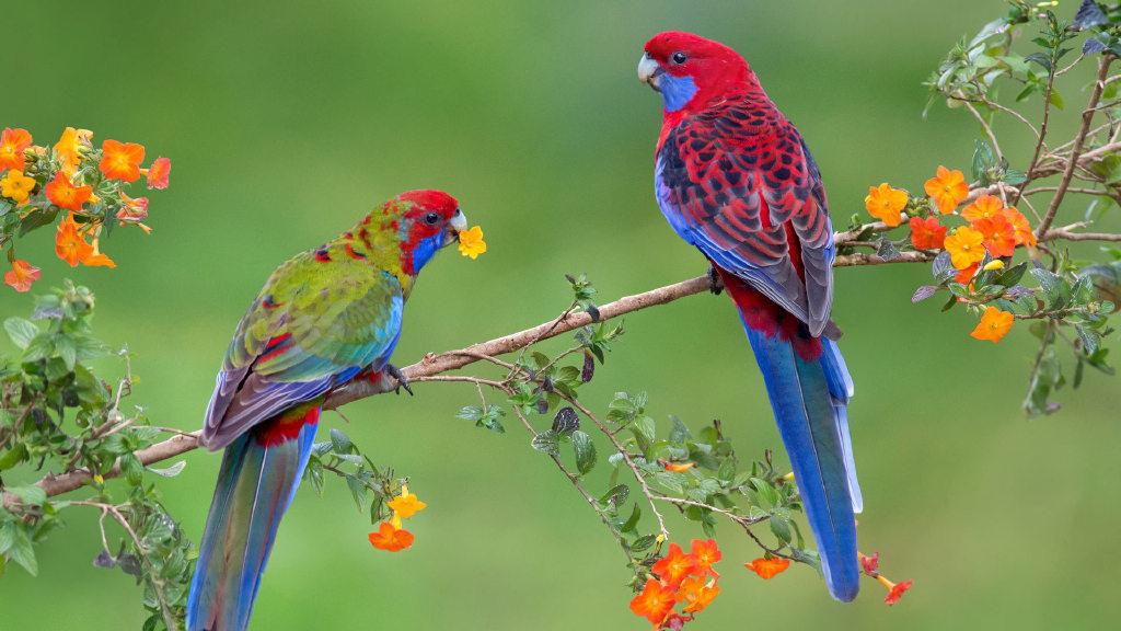 一对深红玫瑰鹦鹉幼鸟