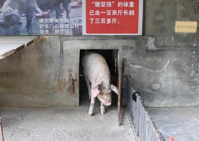 """猪坚强""""进入生命晚期"""",猪坚强原主人说:""""作为一只猪,它足够幸运了"""""""