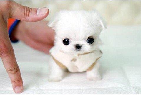 茶杯犬多少钱一只_茶杯犬哪里有卖_茶杯犬图片
