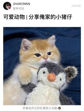 萌宠图片好可爱的小猪猫-萌宠