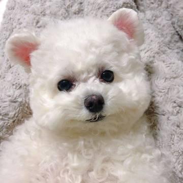 棉花糖小狗。
